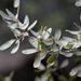 Quercus engelmannii - Photo (c) Jay Keller, todos los derechos reservados, uploaded by Jay L. Keller