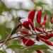 Cinnyris jugularis rhizophorae - Photo (c) earthknight, todos los derechos reservados