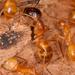 Camponotus festinatus - Photo (c) Jason Penney, todos los derechos reservados