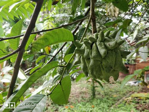 Annona mucosa image