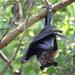 Pteropus conspicillatus - Photo (c) Kayla Dick, כל הזכויות שמורות
