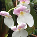 Miltoniopsis - Photo (c) Nando Garcia, todos los derechos reservados