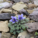 Jones' Columbine - Photo (c) Tab Tannery, some rights reserved (CC BY-NC-SA)