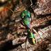 Rhytidoponera metallica - Photo (c) aussie_ants, todos los derechos reservados