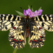 Zerynthia polyxena - Photo (c) gernotkunz, kaikki oikeudet pidätetään