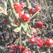 Christmas Cholla - Photo (c) Tim Crawford, all rights reserved