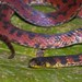 Bloody Ground Snake - Photo (c) estebanalzate, all rights reserved, uploaded by Esteban Alzate Basto