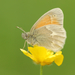 Coenonympha california - Photo (c) David Beadle, todos los derechos reservados, uploaded by dbeadle