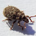Trachyphloeus scabriculus - Photo (c) Peter Danter, all rights reserved