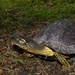 Colombian Wood Turtle - Photo (c) estebanalzate, all rights reserved, uploaded by Esteban Alzate Basto