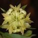 Calendula tripterocarpa - Photo (c) Ori Fragman-Sapir, todos los derechos reservados