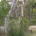 Tufted Grass-Tree - Photo (c) Condell, all rights reserved