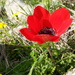 Anemoneae - Photo (c) קרן סנדלר, all rights reserved