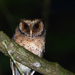 Scops Owls - Photo (c) Carlos N. G. Bocos, all rights reserved