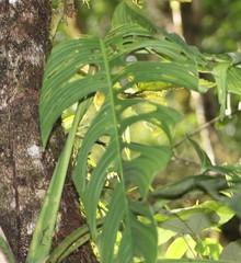 Monstera oreophila image