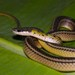 Black-backed Snake - Photo (c) estebanalzate, all rights reserved, uploaded by Esteban Alzate Basto