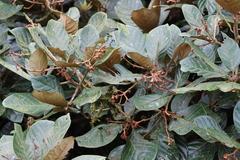 Image of Pleurothyrium palmanum