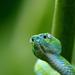Guatemala Palm Pit Viper - Photo (c) José C. Espinoza, all rights reserved
