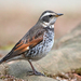 Dusky Thrush - Photo (c) Carlos N. G. Bocos, all rights reserved