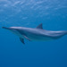 Spinner Dolphin - Photo (c) davidr, all rights reserved, uploaded by David R
