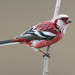 Long-tailed Rosefinch - Photo (c) Carlos N. G. Bocos, all rights reserved