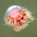 Cyanea versicolor - Photo (c) J-Mass, todos los derechos reservados