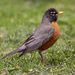 American Robin - Photo (c) Dennis Church, some rights reserved (CC BY-NC-ND)