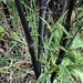 Black Bamboo - Photo (c) Lynn, all rights reserved