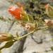 Malva del Desierto - Photo (c) Jim Roberts, todos los derechos reservados