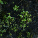 Highland Saxifrage - Photo (c) Nannie, all rights reserved