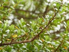 Escallonia myrtilloides image