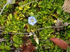 Gentiana sedifolia image