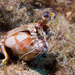 Shortnose Mantis Shrimp - Photo (c) davidr, all rights reserved, uploaded by David R