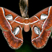 Rothschildia lebeau - Photo (c) gernotkunz, όλα τα δικαιώματα διατηρούνται