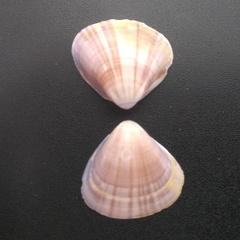 Tivela mactroides image