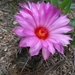 Thelocactus bicolor - Photo (c) Julian Gutierrez, כל הזכויות שמורות