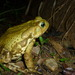 Yellow Cururu Toad - Photo (c) pedroreis, all rights reserved