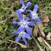 Scilla forbesii - Photo (c) sell heathers other stuff, todos los derechos reservados