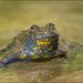 Sapo de Vientre Amarillo - Photo (c) Marco Bertolini, todos los derechos reservados