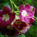 Thenardia floribunda - Photo (c) julio, kaikki oikeudet pidätetään, uploaded by Julio Alejandro Álvarez Ruiz