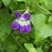 Maurandya antirrhiniflora - Photo (c) Frances, כל הזכויות שמורות
