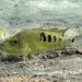 Herichthys minckleyi - Photo (c) Michael Tobler, כל הזכויות שמורות
