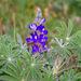 Lupinus cosentinii - Photo (c) Flight69, todos los derechos reservados