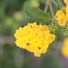 Lantana × hybrida - Photo (c) julianob, todos los derechos reservados