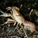 Osage Burrowing Crayfish - Photo (c) ozarkian, all rights reserved