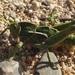 Pamphagus sardeus - Photo (c) Marco Piga, todos los derechos reservados