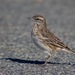 New Zealand Pipit - Photo (c) Finn Davey, all rights reserved