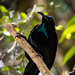 Paradise Riflebird - Photo (c) Andrew Rock, all rights reserved