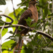 Brown Cuckoo-Dove - Photo (c) Andrew Rock, all rights reserved