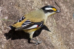 Striated Pardalote - Photo (c) Andrew Rock, all rights reserved